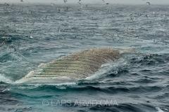 Kolmulefiske i Atlanterhavet 2