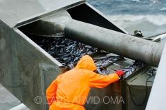 Kolmulefiske i Atlanterhavet 8